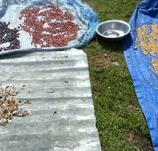 Drying beans and sweetcorn